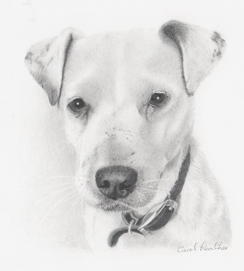 Graphite portrait of white Jack Russell terrier